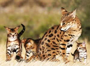 Savannah Cat and her Kittens Playing