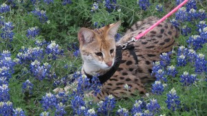 Savannah Cat Lounging in Flowers