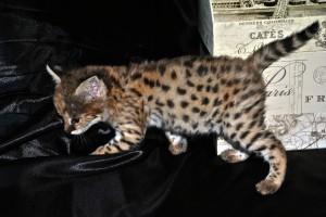 Savannah Kitten Climbing on Couch