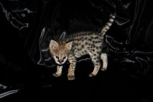Kessavannah's Kitten Playing On Couch